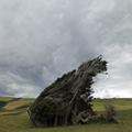 Windswept Windbreak
