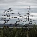 New Zealand Flax at Curio Bay