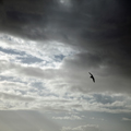 Wheeling Gull