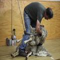 Shearing 1 — Awkward