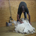 Shearing 2 — Coming Clean
