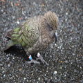 Kea, in the Wild