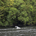 Dolphins in Doubtful Sound, 1