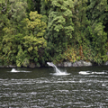 Dolphins in Doubtful Sound, 3