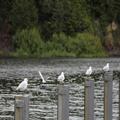 Gull Posts