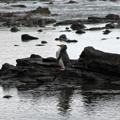 Penguin Standing