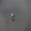 Wading Gull