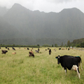 Cows of the Misty Mountains
