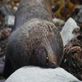 Snoring Seal