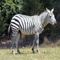 Tumescent Zebra