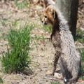 Cheetah Cub, 1
