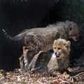 Cheetah Cubs, 1