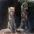 Cheetah Cubs, 3