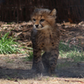 Walking Cheetah Cub, 1