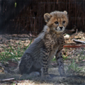 Timid Cheetah Cub, 1