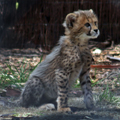Timid Cheetah Cub, 2