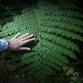 Green Side of a Silver Fern