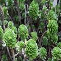 Succulents, Dunedin