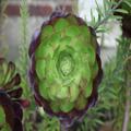 Succulent, Dunedin