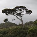 Podocarp Tree