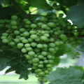 Wither Hills Grapes